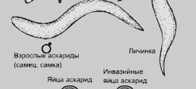 Особенности строения аскариды человеческой