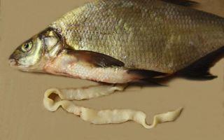 Описторхоз: какая рыба является опасной