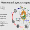 Аскарида: особенности жизненного цикла