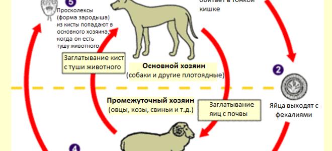 Эхинококк: строение и жизненный цикл