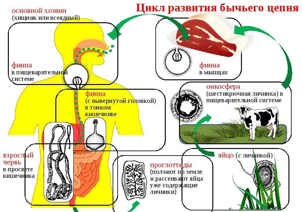 Цикл развития бычьего цепня схема