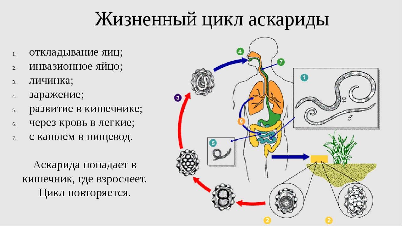 Жизненный цикл аскариды — Цикл развития человеческой аскариды