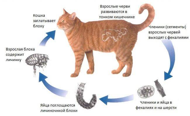 Как не заразиться глистами от кошки