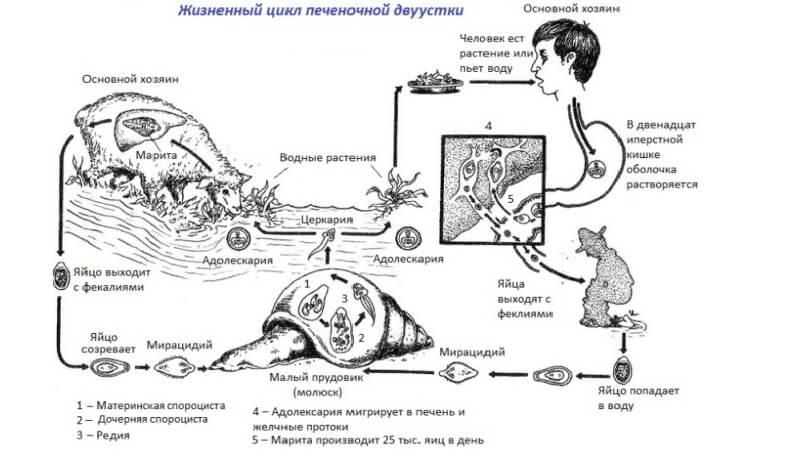 Ланцетовидный сосальщик цикл развития схема