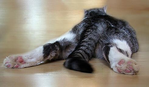 Кот распластался