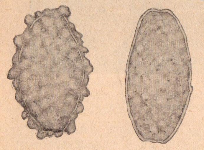 Яйца аскарид